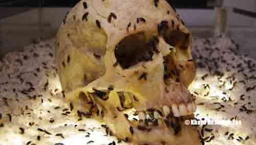 beetles-nigerian-skull